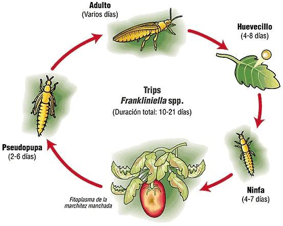 Ciclo vital de los trips desde larva a adultos